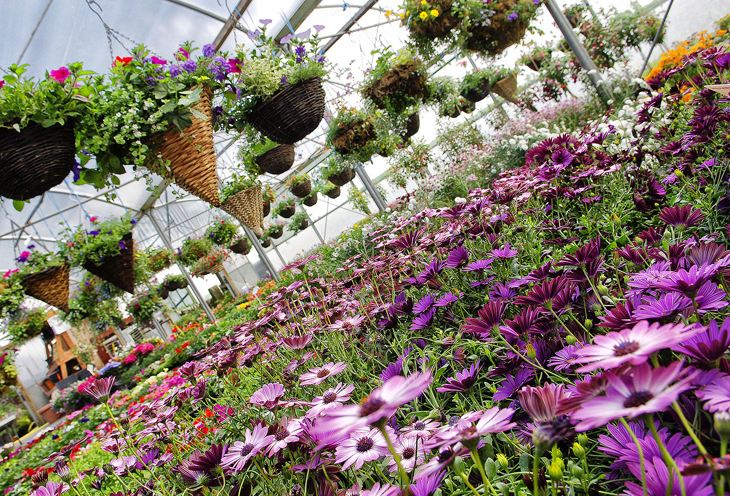 website photography, plant nursery with hanging baskets and purple flowers